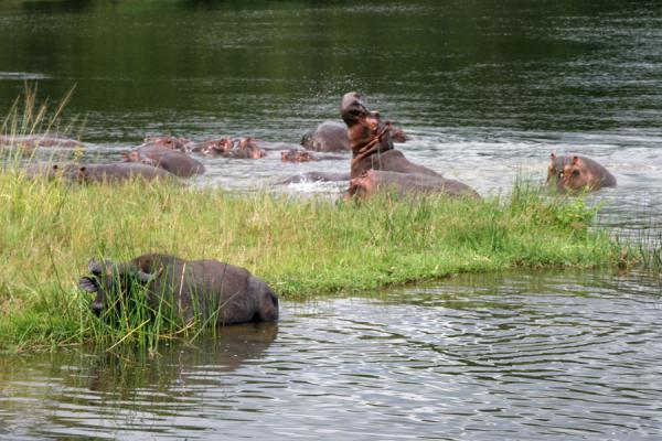 Foto van Hippos on the bank of the Victoria NileVictoria Nijl - Oeganda
