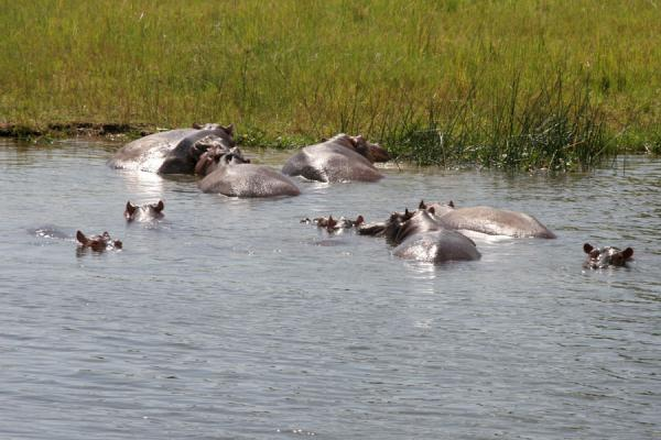 Foto van Small group of hippos with the sunlight on their backsVictoria Nijl - Oeganda