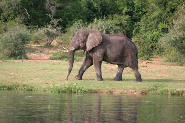 Elephant walking the bank of the Victoria Nile | Nilo Victoria | Uganda