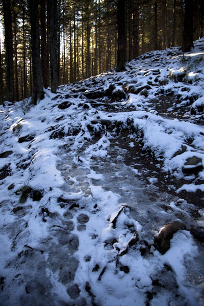 The trail through the woods, with slippery melting snow | Mount Hoverla | Ukraine