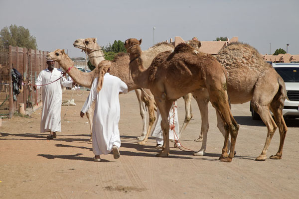 Picture of United Arab Emirates (Men in white robes herding camels into one of the pens of the market)