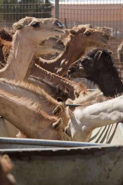 Picture of Camels digging in at one of the troughs in a pen at the marketAl Ain - United Arab Emirates