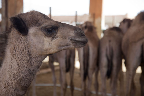 Picture of Camel head and a bunch of camels in the backgroundAl Ain - United Arab Emirates