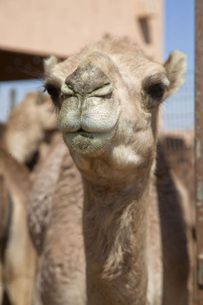 Foto van Close-up of a camel who just ate something greenAl Ain - Verenigde Arabische Emiraten