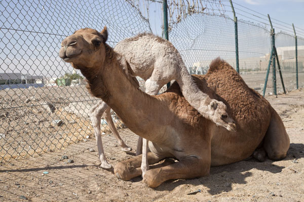 Photo de Baby camel with mother at a fence at the camel marketAl Ain - Emirats Arabes Unis