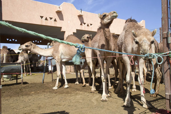 Foto van Camels in one of the many pens at the marketAl Ain - Verenigde Arabische Emiraten