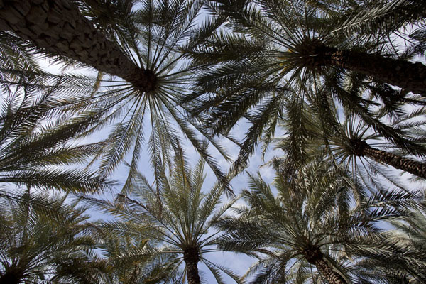 Looking up the date palm trees of the oasis of Al Ain | Al Ain oasis | United Arab Emirates