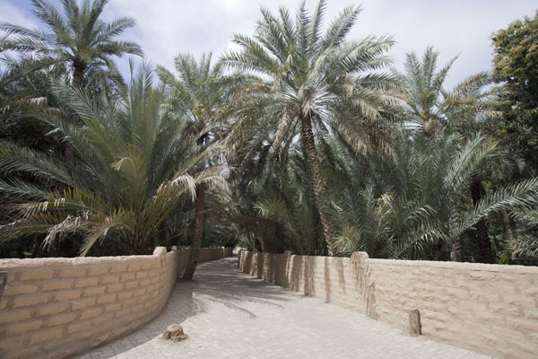 Alley with wall and date palm trees | Al Ain oasis | United Arab Emirates