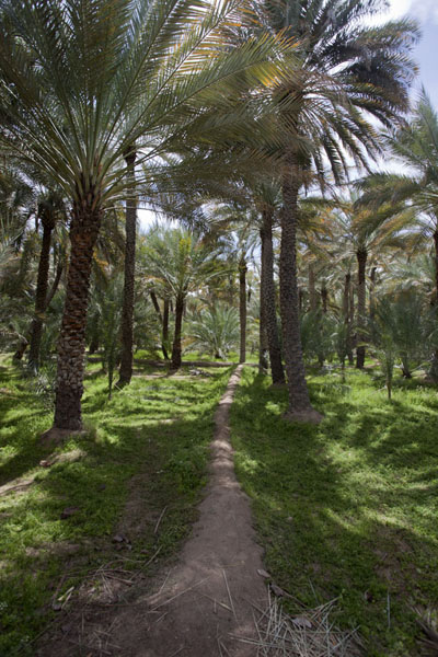 Photo de Path leading straight through a date palm trees plantation in the oasis of Al AinAl Ain - Emirats Arabes Unis