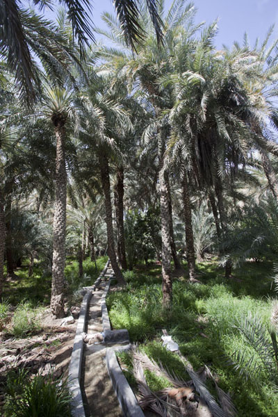 Date palm trees with falaj, the water irrigation system | Al Ain oasis | United Arab Emirates