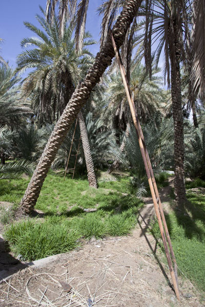 Ladder against one of the thousands of date palm trees in the oasis | Al Ain oasis | United Arab Emirates