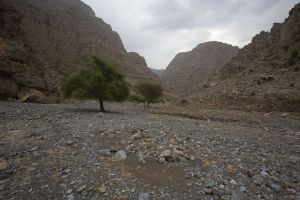 Foto van Trees in stoney canyon on the way to Jebel JaisJebel Jais - Verenigde Arabische Emiraten