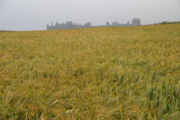 Picture of Dunnottar Castle sticking out of a landscape of cornfields