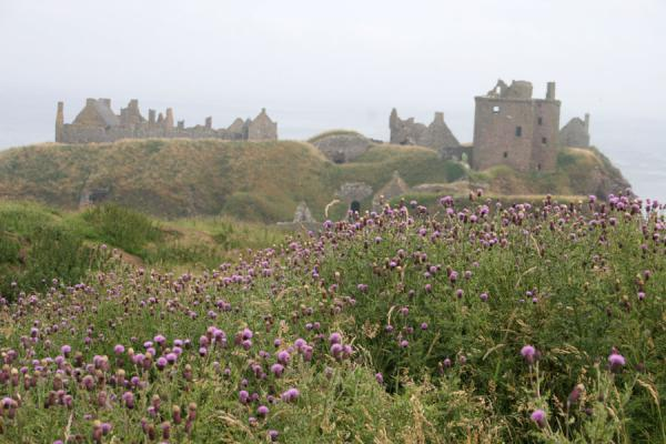 Dunnottar Castle seen atop a field of flowers | Dunnottar Castle | United Kingdom