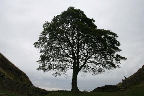 Picture of Hadrian's Wall (United Kingdom): Tree at Sycamore Gap, featuring in a Robin Hood film