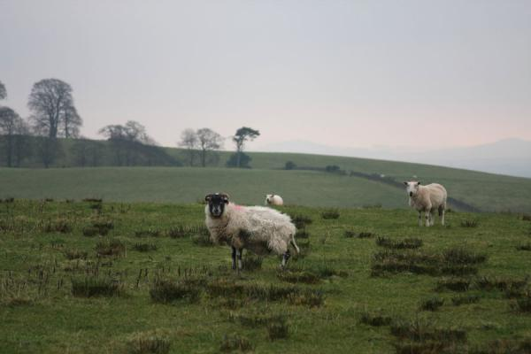Photo de Sheep roaming the lands near Loch LomondBalloch - le Royaume-Uni