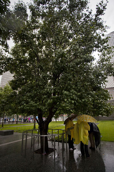 Picture of The Survivor Tree, a callery pear tree that was found as the sole survivor of the 9/11 attacksManhattan - U.S.A.