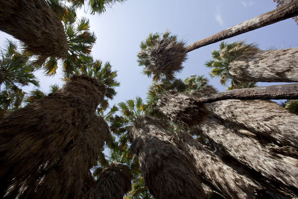 Looking up the native fan palms at a natural palm oasis | Anza-Borrego Desert State Park | United States