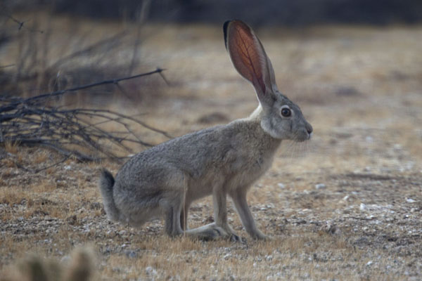 Picture of Anza-Borrego Desert State Park (U.S.A.): Hare standing still in the dry landscape of Anza-Borrego