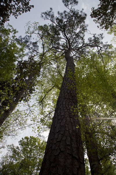 Picture of Looking up tall trees in a forest of Big Thicket