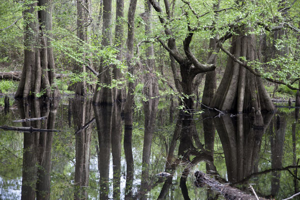 Picture of Big Thicket National Preserve (U.S.A.): Baygall with submerged trees are common in Big Thicket