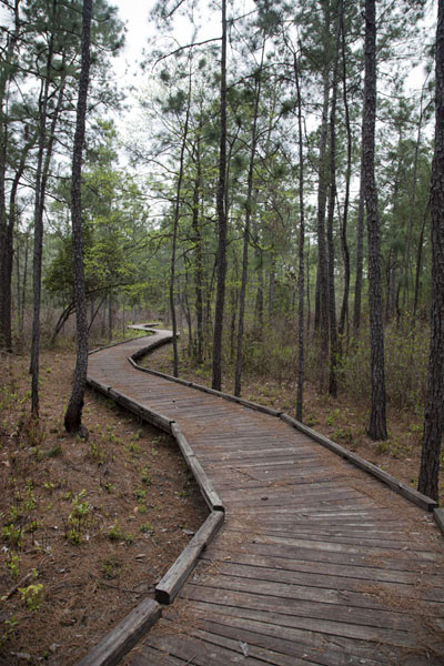 Boardwalk through the forest of the Sundew Trail | Big Thicket National Preserve | U.S.A.
