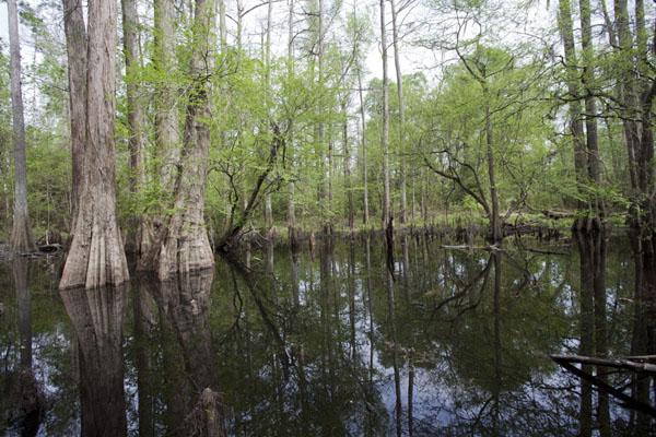 Area submerged in water with cypress trees growing from the water | Big Thicket National Preserve | U.S.A.