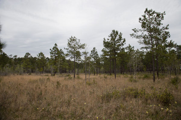 Picture of Big Thicket National Preserve (U.S.A.): Open space seen from the Pitcher Plant trail