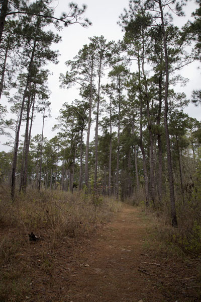 Picture of Big Thicket National Preserve (U.S.A.): The Sandhill Loop Trail takes you over a landscape of trees growing on sand
