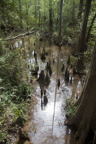 Picture of Big Thicket National Preserve (U.S.A.): Trees and plants growing in a creek