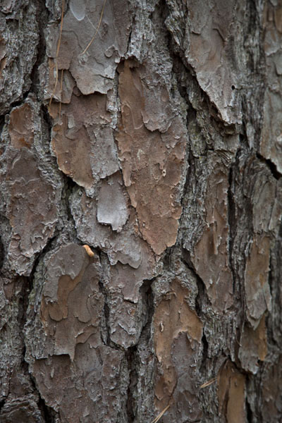 Picture of Big Thicket National Preserve (U.S.A.): Bark of one of the big trees of Big Thicket in close-up