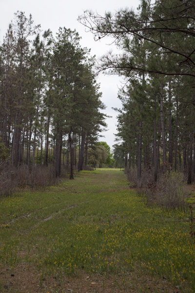 Open space in the forest at the Sundew Trail | Big Thicket National Preserve | U.S.A.