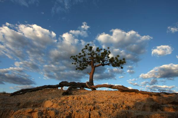 Tree with exposed roots on top of a hill at Bryce Canyon | Bryce Canyon National Park | U.S.A.