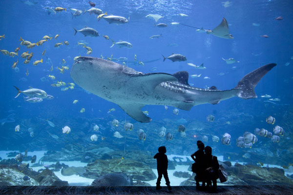 Mother and kids watching as one of the whale sharks swims by - 美国