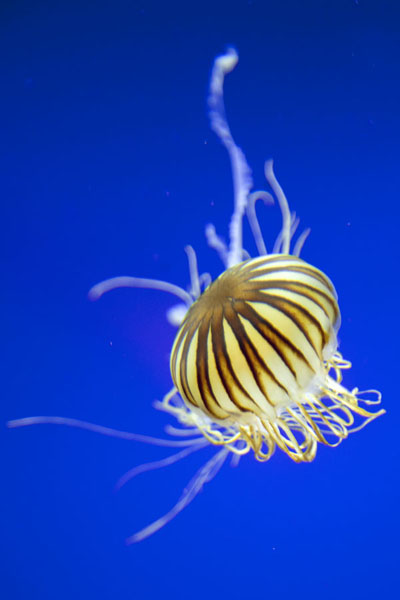 Pacific sea nettle moving graciously through the water of Jelly Alley | Georgia Aquarium | United States