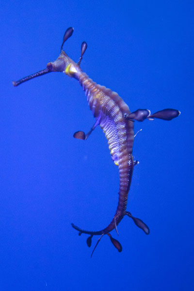 Weedy sea dragon moving through the Cold Water Quest tank | Georgia Aquarium | U.S.A.