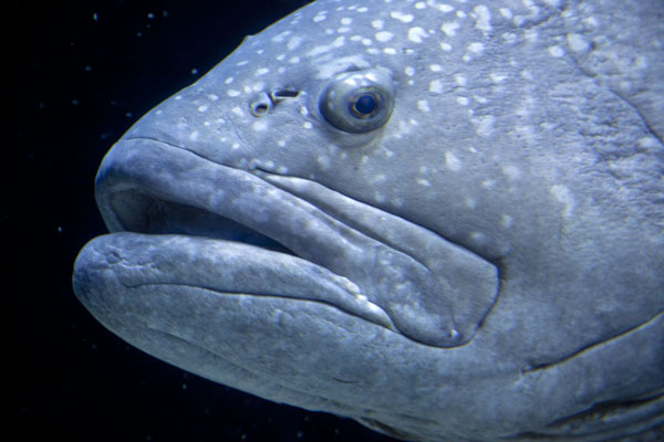 Close-up of the head of a giant grouper | Georgia Aquarium | les Etats-Unis