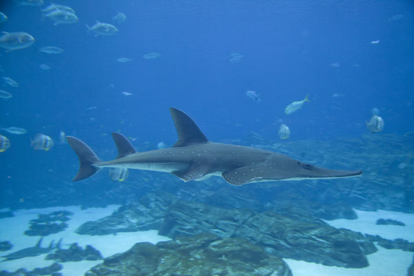 Picture of Longcomb Sawfish swimming in the Ocean Voyager tank - United States - Americas