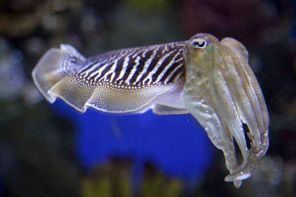 Picture of Swimming cuttlefish in one of the many tanks of the aquarium