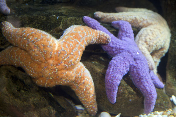 Colourful sea stars on display in one of the Tropical Diver tanks | Georgia Aquarium | United States