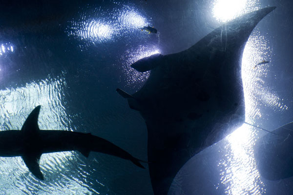 Silhouet of manta ray, shark and whale shark in the Ocean Voyager | Georgia Aquarium | United States
