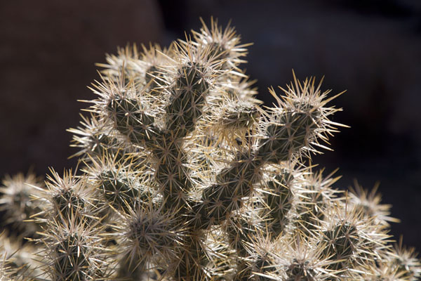 Close-up of a cactus in the Hidden Valley | Parco Nazionale del Joshua Tree | Stati Uniti