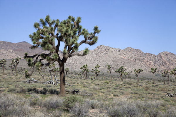 Joshua Trees in a plain in the western side of the park | Parque Nacional de Arboles de Josué | Estados Unidos