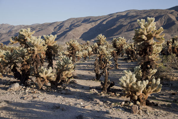 Cholla Cactus Garden has a display of cacti not found elsewhere in Joshua Tree National Park | Joshua Tree National Park | United States