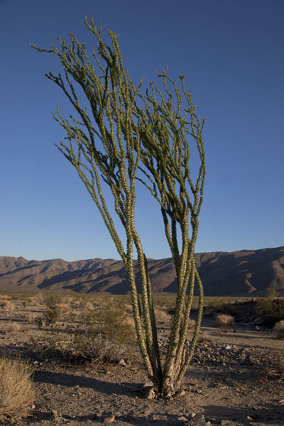 Tree in Pinto Basin, the lower, eastern part of the park | Parco Nazionale del Joshua Tree | Stati Uniti