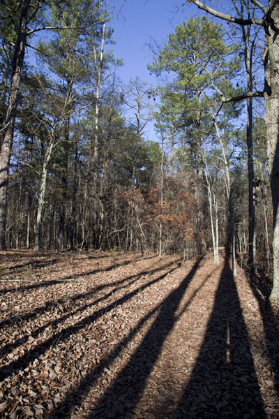 Trees casting long shadows in the forest | Mount Arabia Nature Preserve | U.S.A.