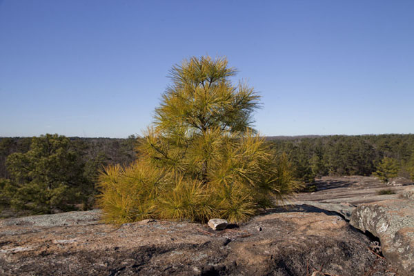 Small tree on top of Mount Arabia | Mount Arabia Nature Preserve | U.S.A.