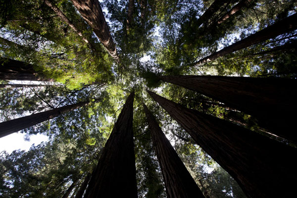 Looking up the redwood trees of Muir Woods | Muir Woods National Monument | U.S.A.