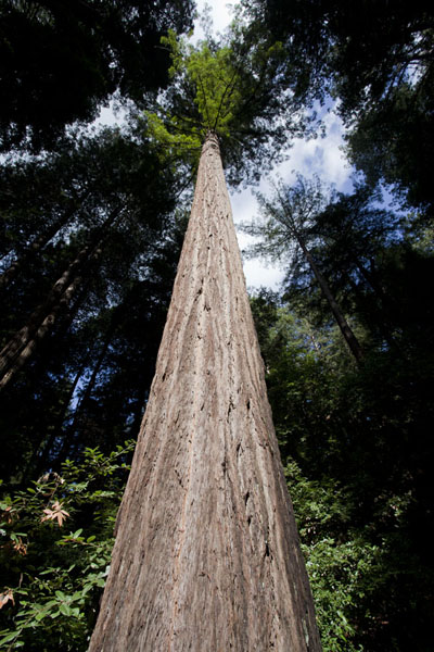 Looking up a redwood tree | Muir Woods National Monument | U.S.A.
