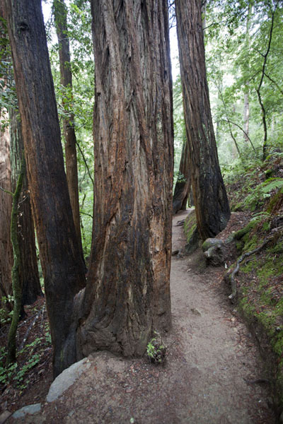 Hillside trail with trees | Muir Woods National Monument | U.S.A.
